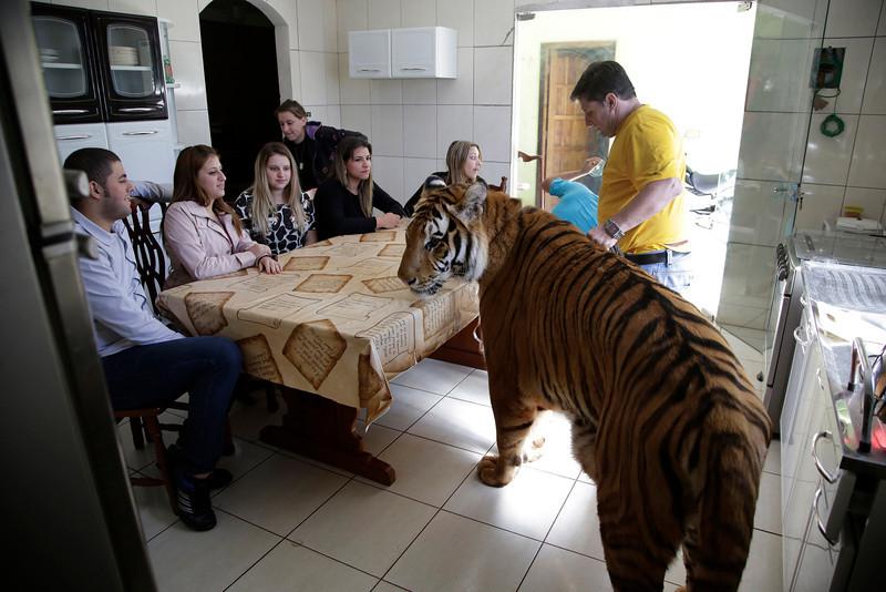 Brazil Tiger Family
