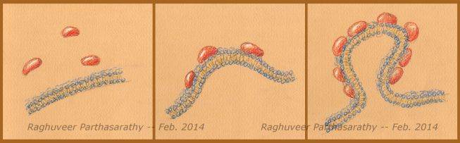 drawing22Feb14_proteins_budding