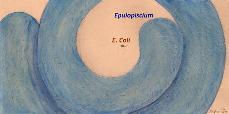 Epulopiscium labels 12Nov2014