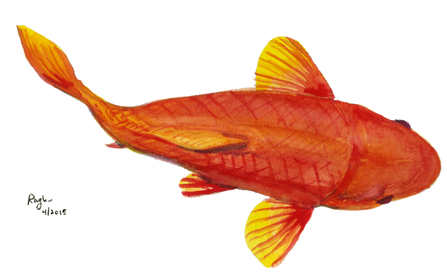 fish_5April2015_transparent