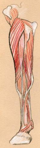 horse leg muscles -- rp