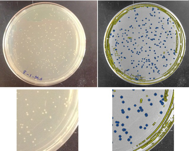 Left: a new plate image. Right: classification of objects. Blue = colonies; yellow = not-colonies.