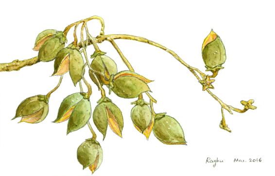 princess tree Paulownia tomentosa seed capsules March2016 small