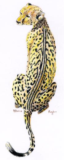 cheetah_july2016