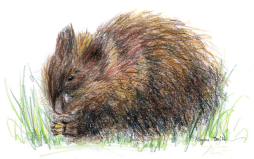muskrat_9Dec2016_small.png